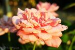 Rosa in Fiore by AmonInShadows