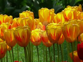 Tulips13 by Otoff