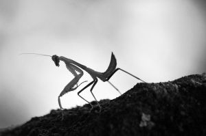 Praying Mantis by stinebamse