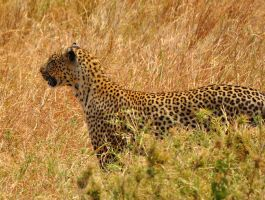 leopard hunting by jynto