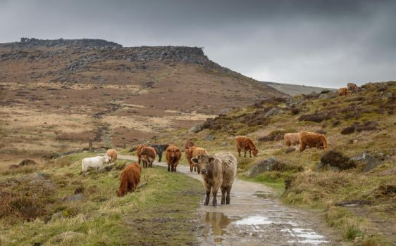 Mountain cattle by ollie2008