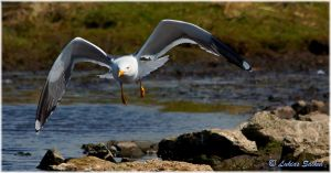 Great Black backed Seagull IX by lukias-saikul
