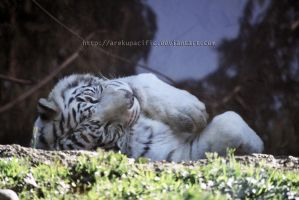 Sleepy white tiger by arekupacific