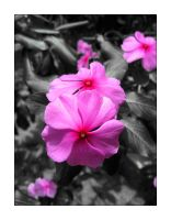 Impatiens Walleriana by luiscds