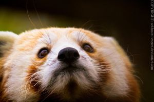 Little Red Panda by sekhmet-neseret