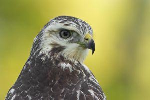 My 1st Buzzard by thrumyeye