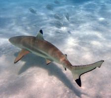 Black tipped reef sharks 2 - Moorea by wildplaces