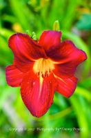 Red Daylily 0907 by TommyPropest-Candler