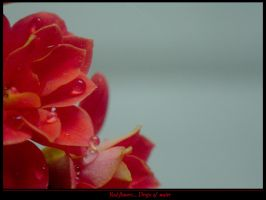 Red Flowers... Drops of water by Sadir89