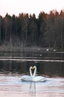 Hugging swans by perost
