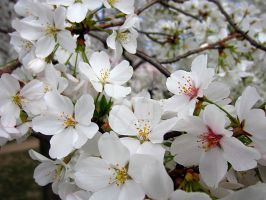 Cherry Blossoms 1 by zaphotonista