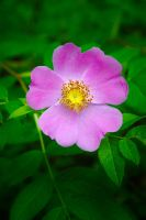 Wild rose by LucieG-Stock
