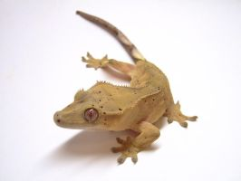 Crested Gecko by CandyForYourSkull