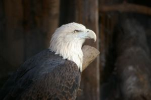 Bald eagle 23 by Silver-she-wolf-14