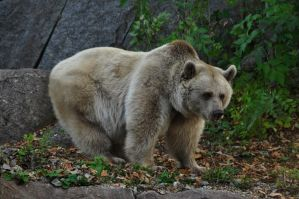 Brown bear 3 by windfuchs