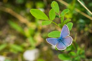 Chalk-Blue Butterfly from above by Akxiv