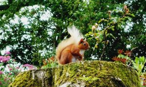 Red Squirrel by rhubarbandcustard12