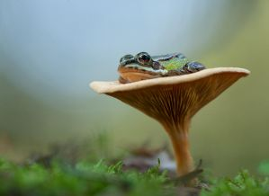 Frog legs on chanterelle by GrafMatula