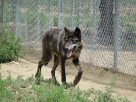 WSWS August 7: Wolf Hybrid 5 by FamilyCanidae