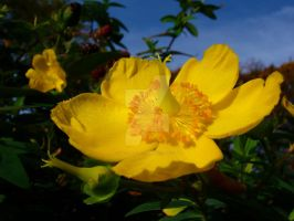 Yellow Flower-KIYellow100D1462 by Kae-Infinity