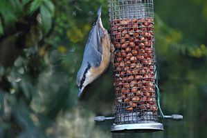The Nuthatch by taramara