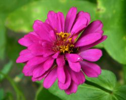 Zinnia by IBeHoey