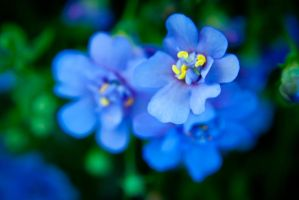 little blue blossoms by anja-B
