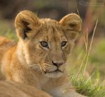 Cub's Eyes by MorkelErasmus
