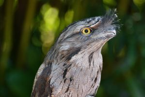 Tawny Frogmouth by KrisVlad