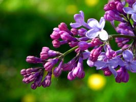 the lilacs are slowly opening by Lou-in-Canada