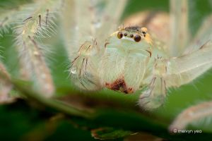 Sparassidae by melvynyeo