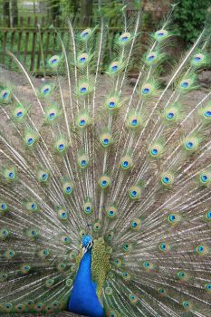 Colorful peacock by Chriscilia