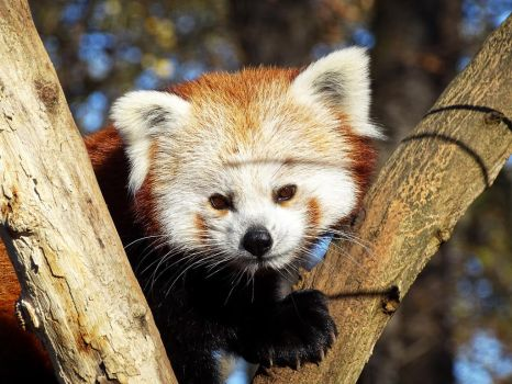 Red Panda (2) by AnNacht