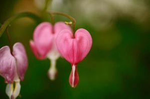 Dicentra by Whimsydogstudio