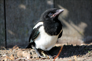 Common Magpie 01 by Mayini