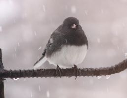 Spring Junco by dove-51