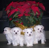 Maltese Puppies by faezui-stock