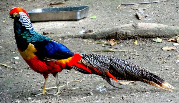 The Golden Pheasant! by Cloudwhisperer67