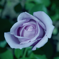 .:Purple rose:. by bogdanici