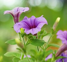 morning glory flower 1 by a6-k