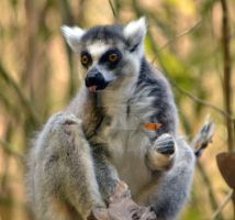 Ringtail Lemur by harperking