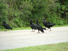 Black Vultures 039 by TheGreatWiseAss