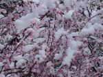 snow covered blossoms by Bleachfangirl