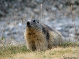 Warm wishes from a marmot by Momotte2