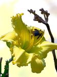 Daylilly Yellow with Bee by jjkiefer