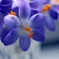 the blue world of crocusses by MorkOrk