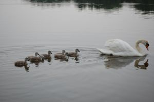 Follow The Swan by The-Rover