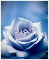 Blue rose by xzb