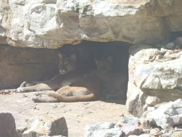 Cuddling Cougars by irrationalrationale