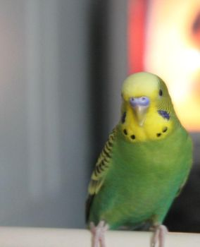 Olive-Toned Budgie by LeHecate